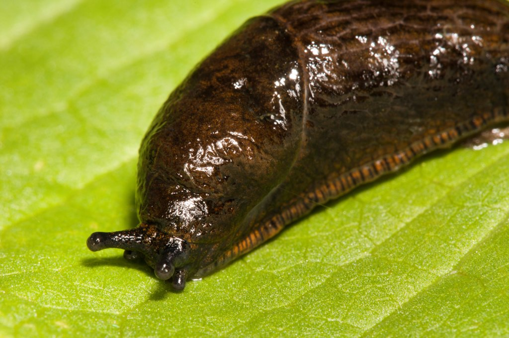 Great Black Slug (Arion ater) reddish brown form, adult, close-up of head and mantle, Crossness Nature Reserve, Bexley, Kent, England, june : Stock Photo