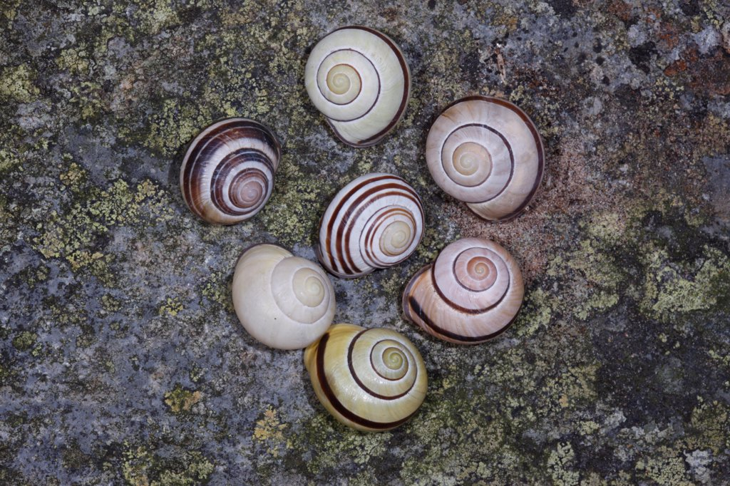 Grove Snail (Cepaea nemoralis) seven adults, with different shell patterns, centre snail with spirals in reverse, England, december : Stock Photo