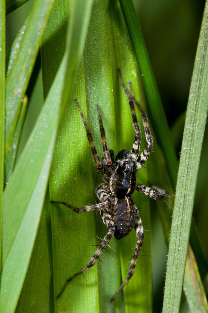 Stock Photo: 4421-26598 Pond Pirate Wolfspider (Pirata piraticus) adult, resting in long grass, waiting to ambush prey, Crossness Nature Reserve, Bexley, Kent, England, may