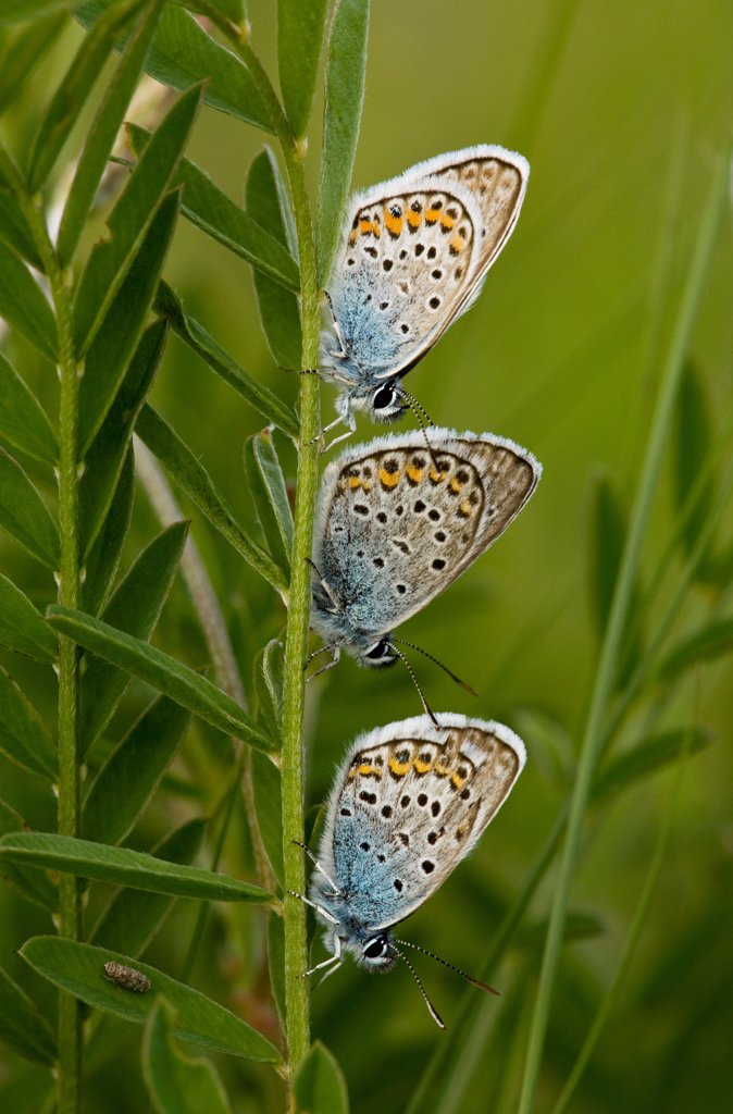 Stock Photo: 4421-26798 Silver-studded Blue (Plebejus argus) three adults, roosting on stem at dusk, Romania