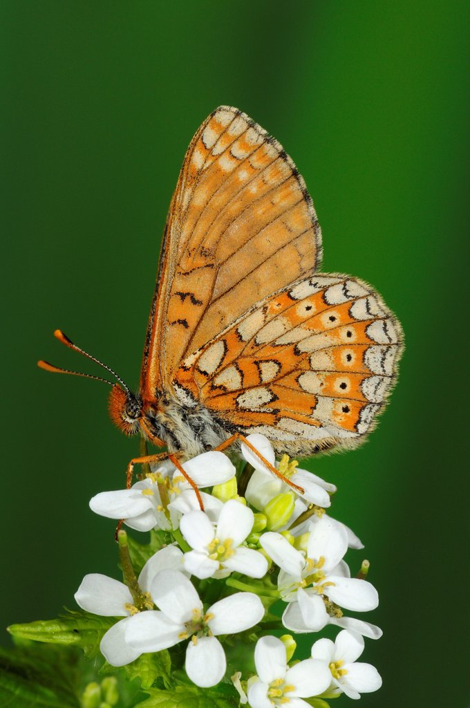 Marsh Fritillary (Euphydryas aurinia) adult, resting on wild mustard flowers, Oxfordshire, England : Stock Photo