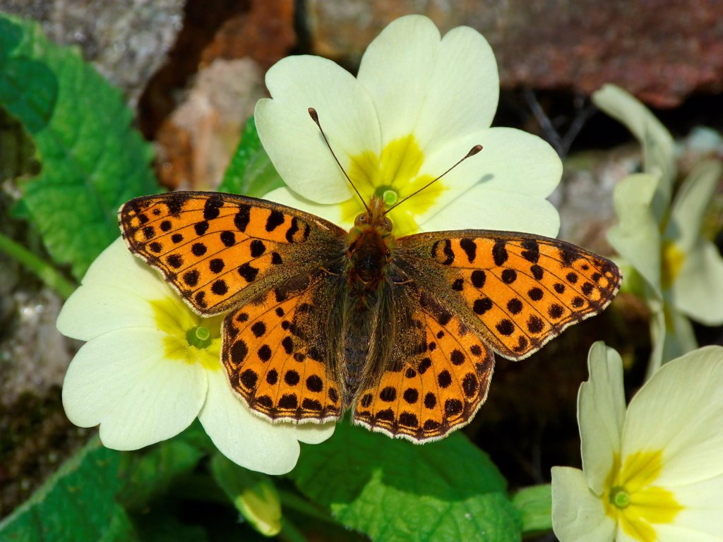 Queen of Spain Fritillary (Issoria lathonia) adult male, just emerged from hibernation, feeding on Primrose (Primula vulgaris) flowers, Cannobina Valley, Italian Alps, Italy, march : Stock Photo