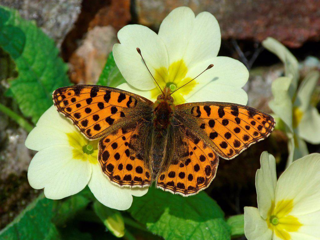 Stock Photo: 4421-26951 Queen of Spain Fritillary (Issoria lathonia) adult male, just emerged from hibernation, feeding on Primrose (Primula vulgaris) flowers, Cannobina Valley, Italian Alps, Italy, march
