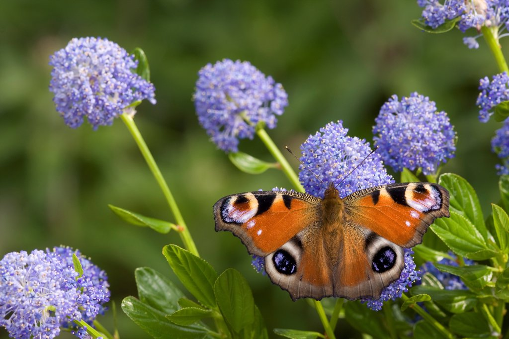 Peacock Butterfly (Inachis io) adult, feeding on California Lilac (Ceanothus arboreus) flowers in garden, England, june : Stock Photo