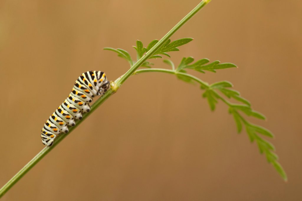 Common Swallowtail (Papilio machaon britannicus) caterpillar, feeding on Milk Parsley, The Broads N.P., Norfolk, England, july : Stock Photo