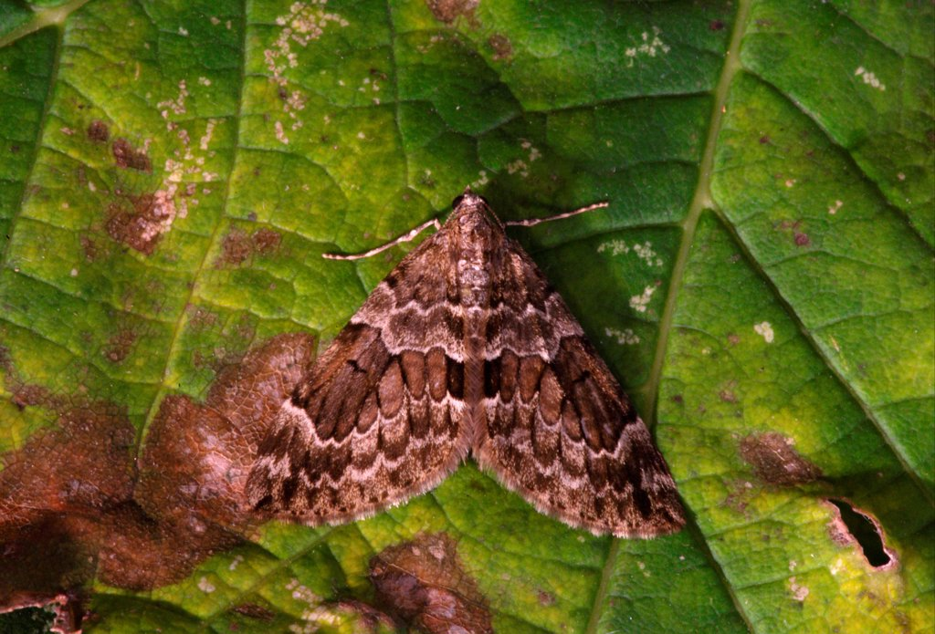 Spruce Carpet Moth (Thera britannica) adult, resting on leaf, Norfolk, England, september : Stock Photo