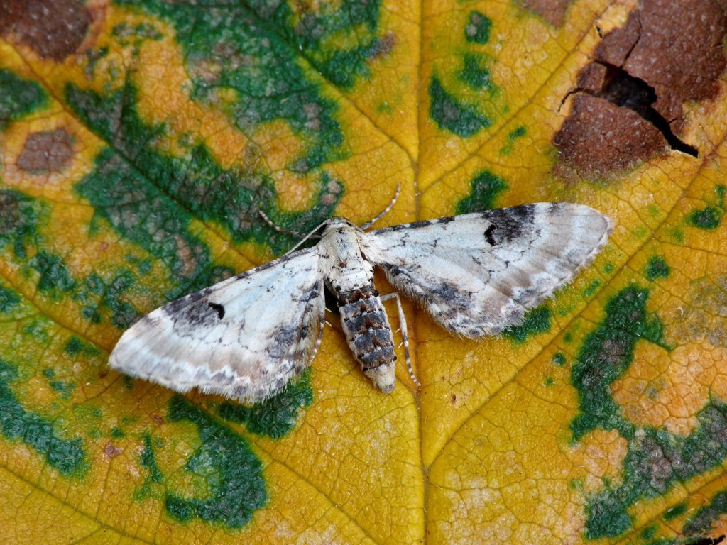 Lime-speck Pug (Eupithecia centaureata) adult, resting on decaying leaf, Leicestershire, England, august : Stock Photo