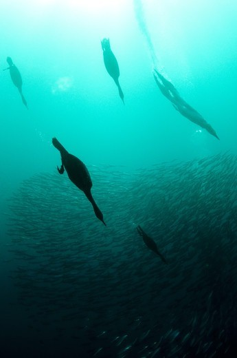 Cape Cormorant (Phalacrocorax capensis) and Cape Gannet (Morus capensis) mixed flock, diving underwater and feeding on 'baitball' school of small bait fish, offshore Port St. Johns, 'Wild Coast', Eastern Cape (Transkei), South Africa, july : Stock Photo