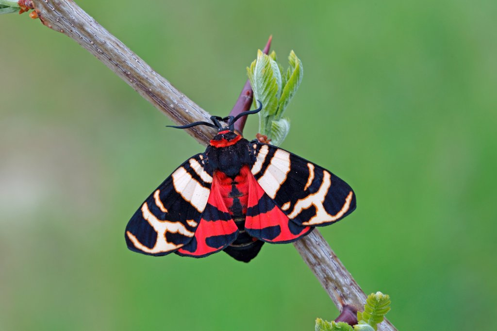 Hebe Tiger Moth (Arctia festiva) adult, resting on twig, Dobrogea, Romania, may : Stock Photo