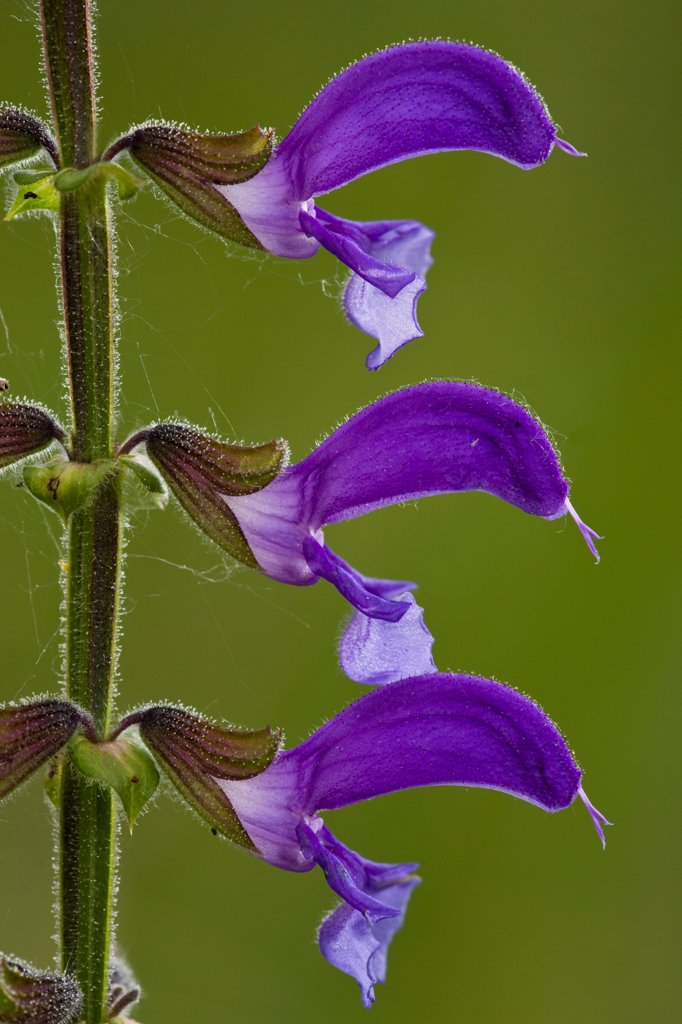 Meadow Clary (Salvia pratensis) close-up of flowers, Romania : Stock Photo