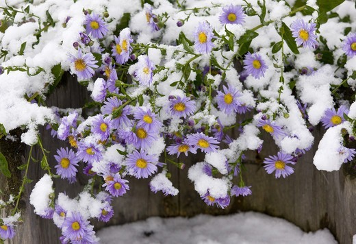 Stock Photo: 4421-28175 Michaelmas Daisy (Aster x versicolor) flowering, covered with snow, Romania, october