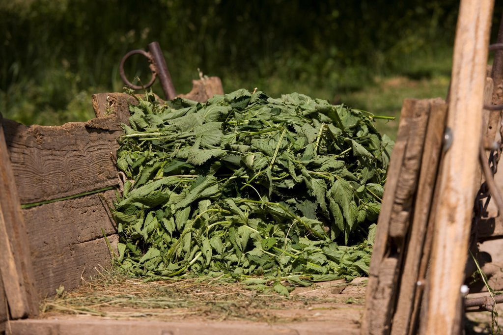 Stock Photo: 4421-28367 Stinging Nettle (Urtica dioica) collected leaves and stems, in wooden cart, near Cris, Transylvania, Romania