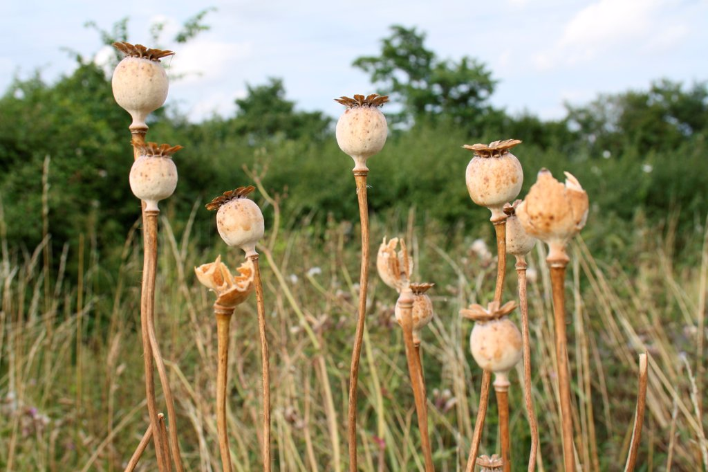 Stock Photo: 4421-28601 Opium Poppy (Papaver somniferum) seedheads, in garden, Suffolk, England, august
