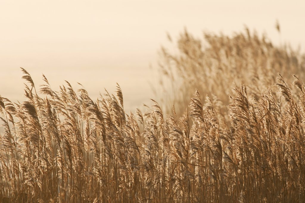 Common Reed (Phragmites australis) reedbed habitat at sunrise, Elmley marshes N.N.R., North Kent Marshes, Isle of Sheppey, Kent, England, february : Stock Photo