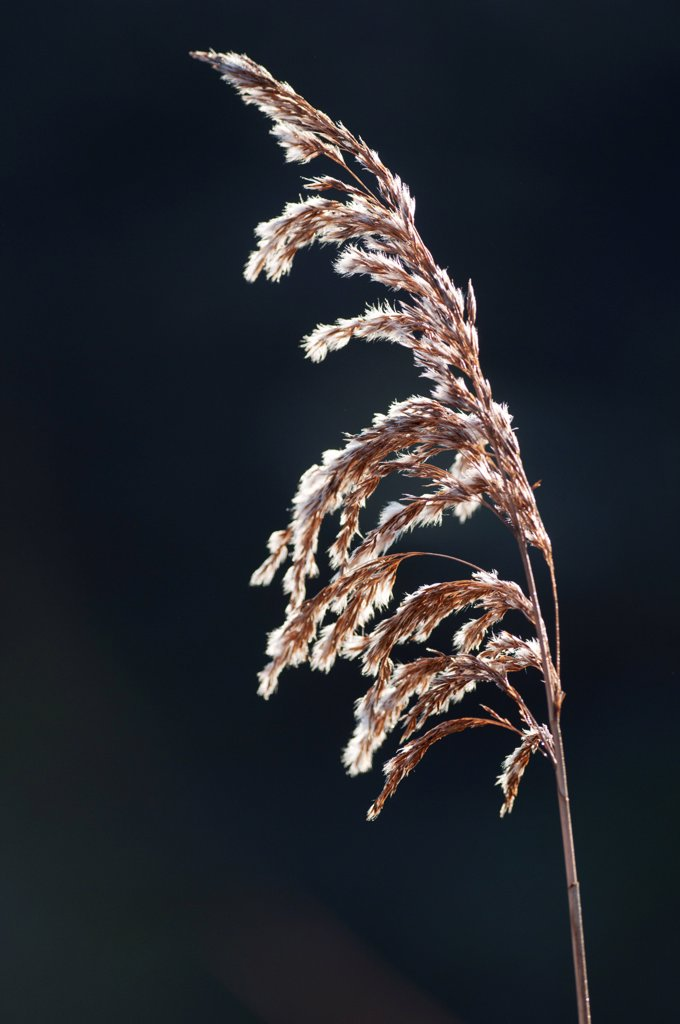 Stock Photo: 4421-28974 Common Reed (Phragmites australis) close-up of seedhead with frost, North Kent Marshes, Isle of Sheppey, Kent, England, february