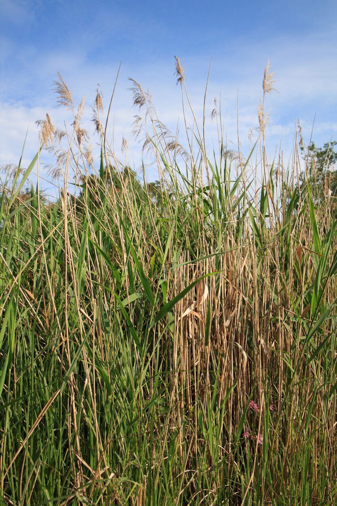 Stock Photo: 4421-28977 Common Reed (Phragmites australis) reedbed habitat, Little Ouse Headwaters Project, Hinderclay Fen, Hinderclay, Little Ouse Valley, Suffolk, England, june