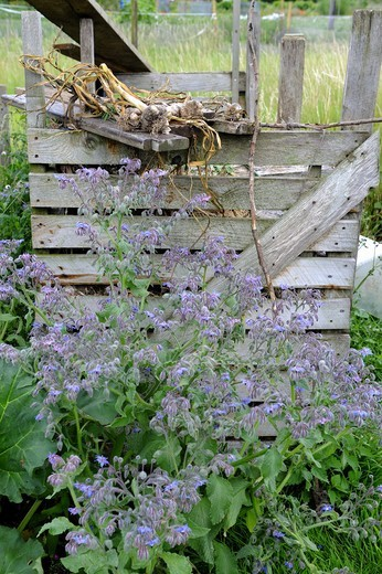 Stock Photo: 4421-29030 Borage (Borago officinialis) flowering, growing beside wooden compost bin on allotment, Norfolk, England, july