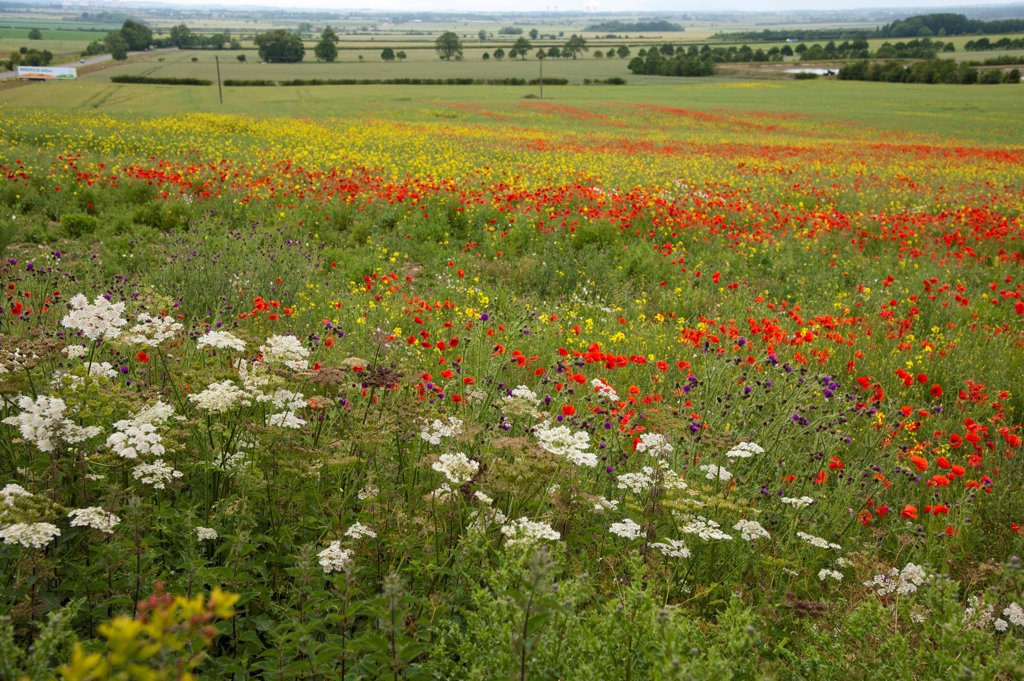 Stock Photo: 4421-29111 Mixed wildflowers, including Corn Poppy (Papaver rhoeas), growing at edge of Oilseed Rape (Brassica napus) field, Lincoln, Lincolnshire, England, june