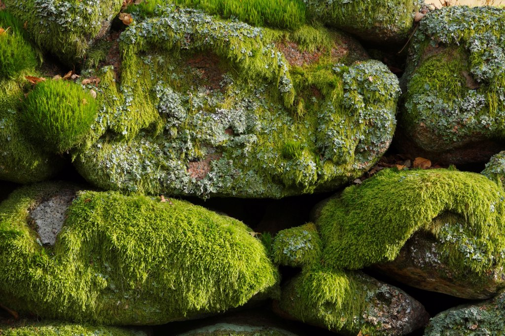 Mosses and lichens covering boulders in granite drystone wall, Muir of Dinnet National Nature Reserve, Deeside, Aberdeenshire, Scotland, october : Stock Photo