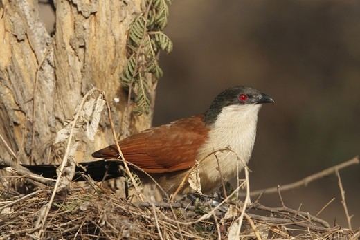 Stock Photo: 4421-2917 Senegal Coucal (Centropus senegalensis) adult, perched on twigs in tree, Gambia, january
