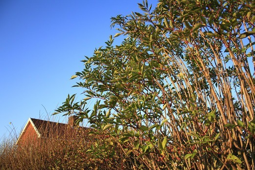 Stock Photo: 4421-29206 Elder (Sambucus nigra) habit, growing in hedgerow beside house, Bacton, Suffolk, England, november