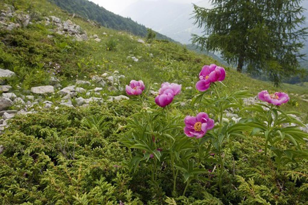 European Peony (Paeonia officinalis) flowering, growing on limestone mountain slope, Monte Baldo, Italian Alps, Italy, june : Stock Photo