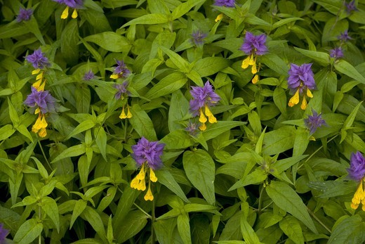 Stock Photo: 4421-29323 East European Cow-wheat (Melampyrum bihariense) flowering, Transylvania, Romania