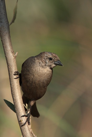 Shiny Cowbird (Molothrus bonariensis) adult female, in head moult, perched on branch, Costanera Sur Nature Reserve, Buenos Aires Province, Argentina, august : Stock Photo
