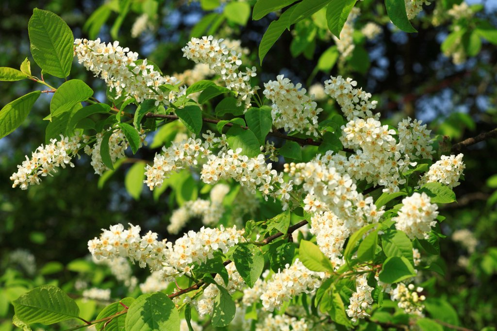 Stock Photo: 4421-29609 Bird Cherry (Prunus padus) close-up of flowers, Powys, Wales, april