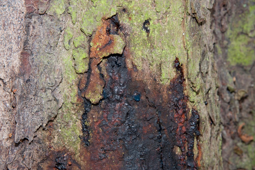 Horse Chestnut (Aesculus hippocastanum) close-up of 150 year old trunk, with Phytophthora bleeding canker, Hanbury, Tutbury, Staffordshire, England, october : Stock Photo