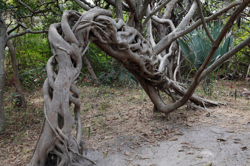 Stock Photo: 4421-29670 Strangler Fig (Ficus sp.) habit, twisted and arched growth of aerial roots, Gambia, january