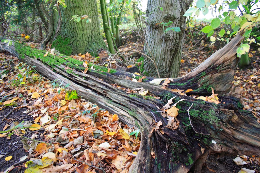 Stock Photo: 4421-29702 Fallen and decaying tree trunk in woodland, with moss and fallen leaves, Vicarage Plantation, Mendlesham, Suffolk, England, november