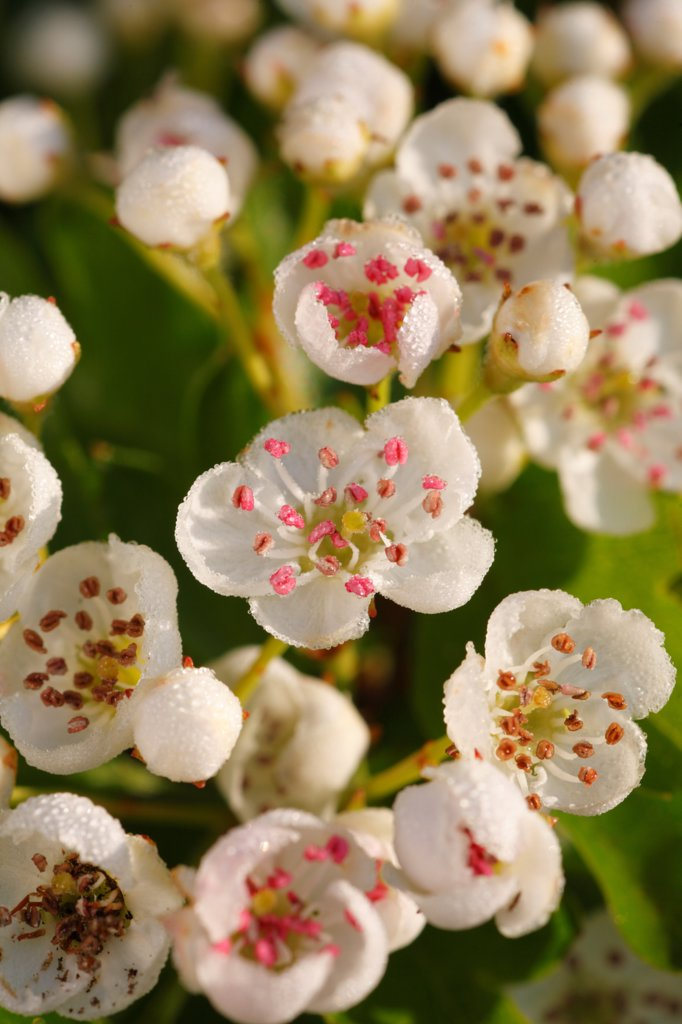 Common Hawthorn (Crataegus monogyna) close-up of flowers, Powys, Wales : Stock Photo