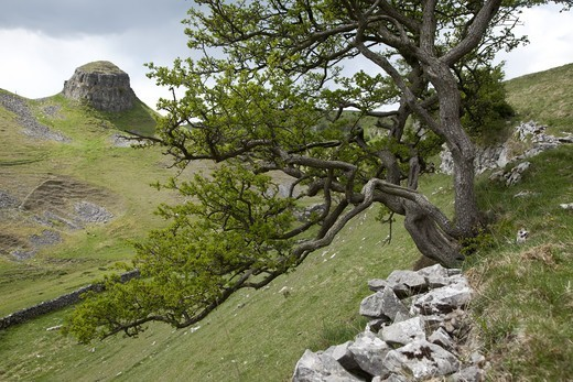 Stock Photo: 4421-29793 Common Hawthorn (Crataegus monogyna) habit, growing from limestone outcrop, Cressbrook Dale, Derbyshire, England, may