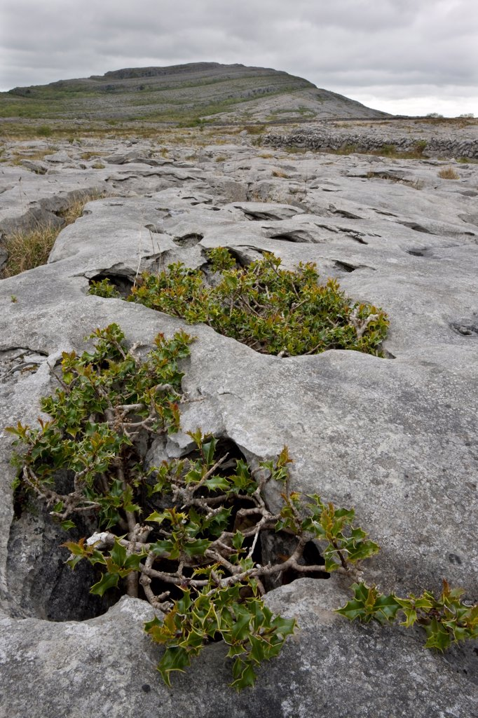 Stock Photo: 4421-29853 European Holly (Ilex aquifolium) ancient dwarf gnarled habit, growing on limestone pavement, Mullagh Mor, Burren, County Clare, Ireland, spring