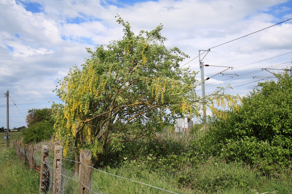 Common Laburnum (Laburnum anagyroides) introduced species, habit, flowering in wasteground at edge of railway line, Bacton, Suffolk, England, may : Stock Photo