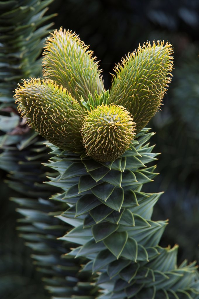 Stock Photo: 4421-29997 Monkey Puzzle (Araucaria araucana) close-up of male pollen-bearing cones, Lanin N.P., Neuquen Province, Patagonia, Argentina, october