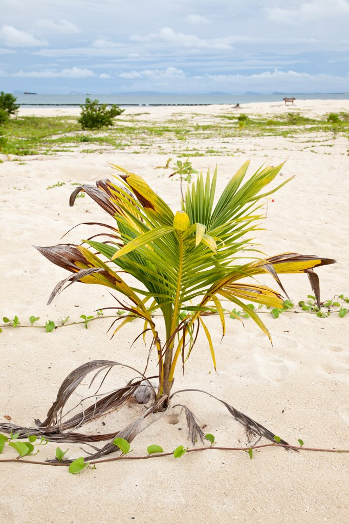 Coconut Palm (Cocos nucifera) seedling, growing on beach, Selingan Island, Sabah, Borneo, Malaysia : Stock Photo