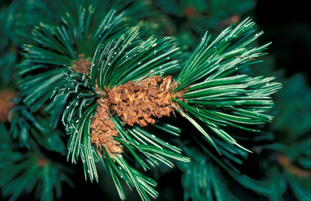 Stock Photo: 4421-30145 Bristle-cone Pine (Pinus aristata) Close up