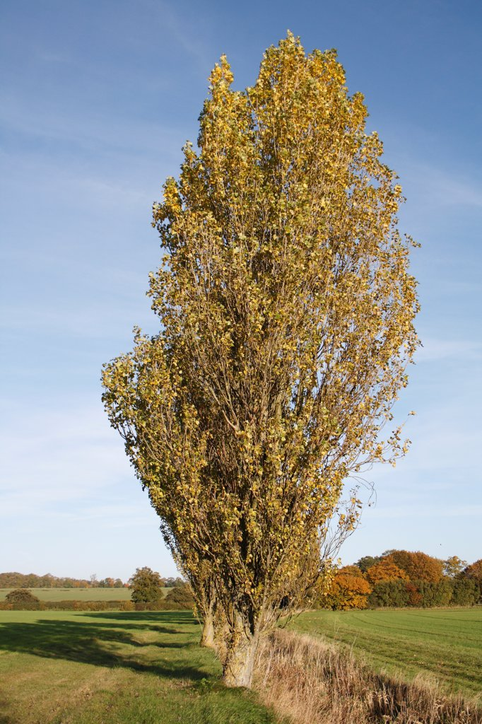 Stock Photo: 4421-30218 Lombardy Poplar (Populus nigra 'italica') habit, growing at edge of field in arable farmland, Wickham Skeith, Suffolk, England, october