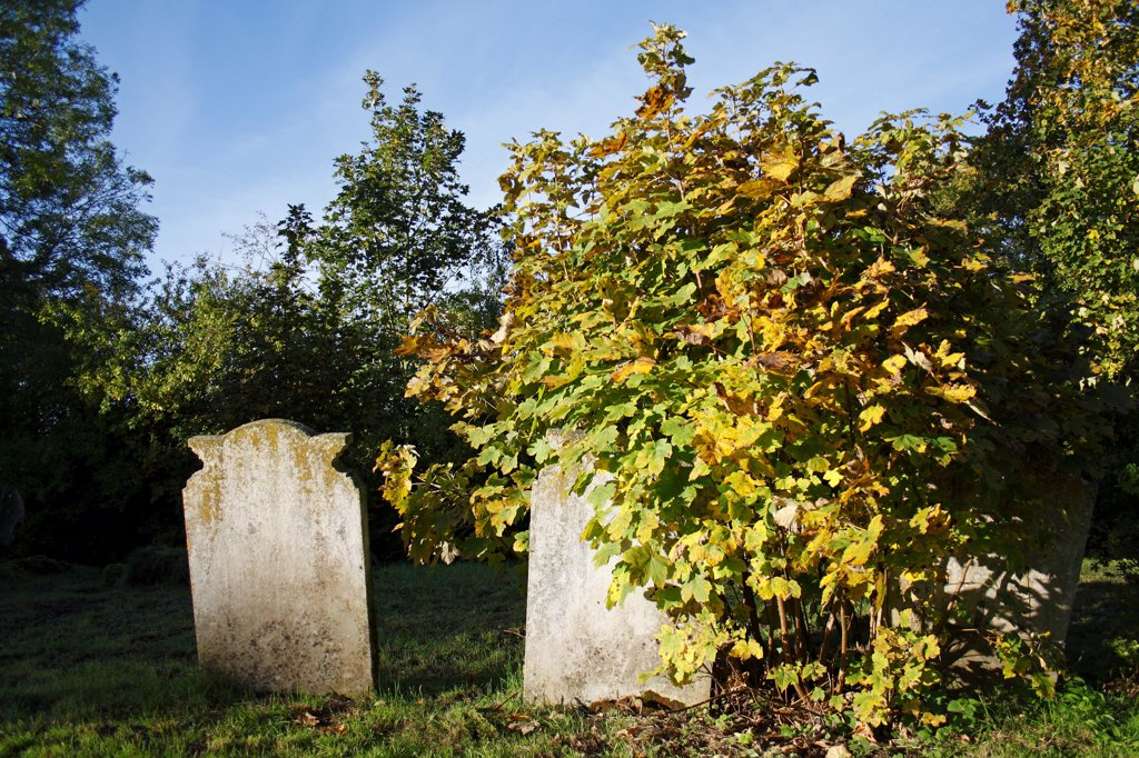Stock Photo: 4421-30271 Sycamore (Acer pseudoplatanus) sapling, growing beside headstones in church graveyard, St. Andrew's Church, Wickham Skeith, Suffolk, England, october