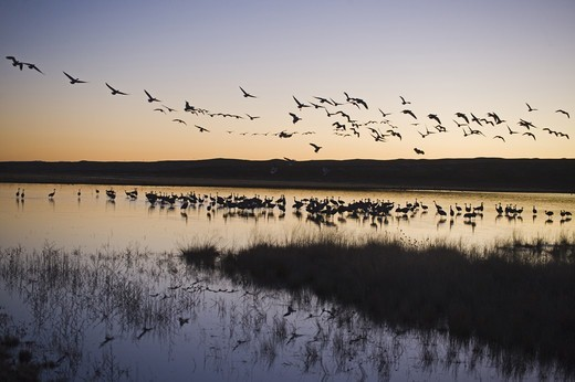Sandhill Crane (Grus canadensis) flock, on roosting pond at at dusk, with Snow Goose (Chen caerulescens) flock in flight overhead, Bosque del Apache National Wildlife Refuge, New Mexico, U.S.A., january : Stock Photo