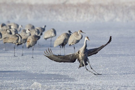 Sandhill Crane (Grus canadensis) juvenile, landing and sliding on frozen lake, with flock in background, Bosque del Apache National Wildlife Refuge, New Mexico, U.S.A., december : Stock Photo