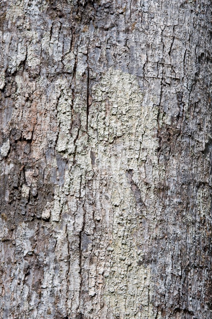 Stock Photo: 4421-30662 Soft Wallaba (Eperua falcata) close-up of bark, Iwokrama Rainforest, Guiana Shield, Guyana, october