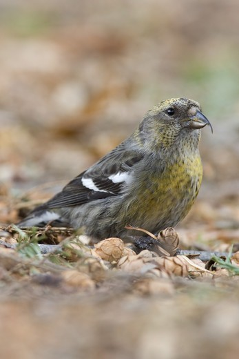 Two-barred Crossbill (Loxia leucoptera) adult female, feeding on fallen hemlock cones, U.S.A. : Stock Photo