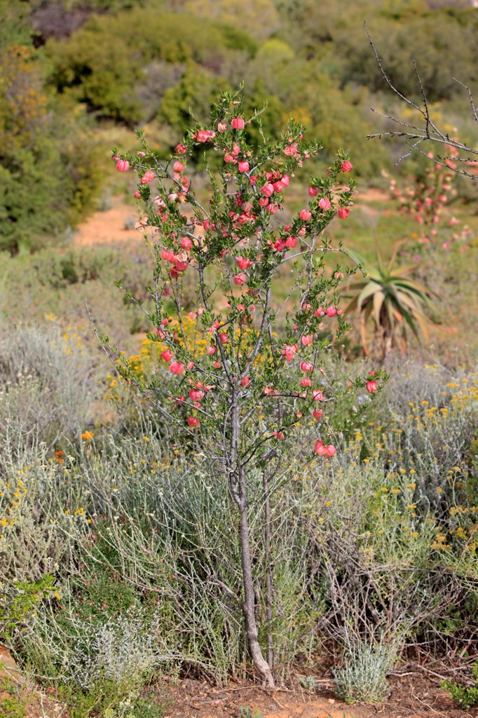 Stock Photo: 4421-30735 Chinese Lantern Tree (Nymania capensis) habit, flowering, Karoo Desert National Botanical Garden, Worcester, Western Cape, South Africa