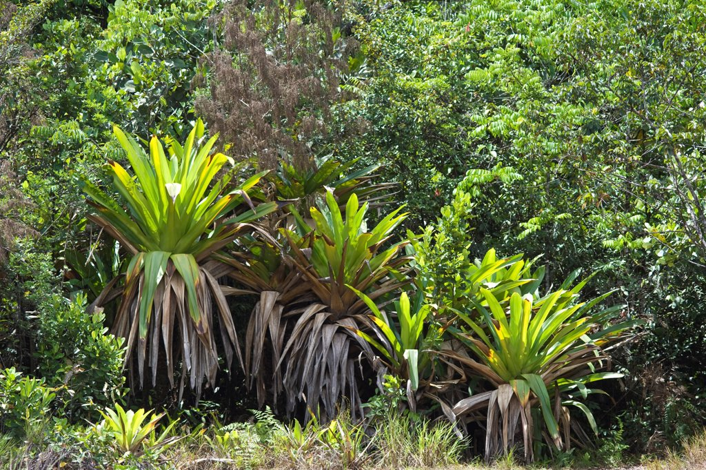 Stock Photo: 4421-30745 Giant Tank Bromeliad (Brocchinia micrantha) growing in tropical forest, Kaieteur N.P., Guiana Shield, Guyana, october