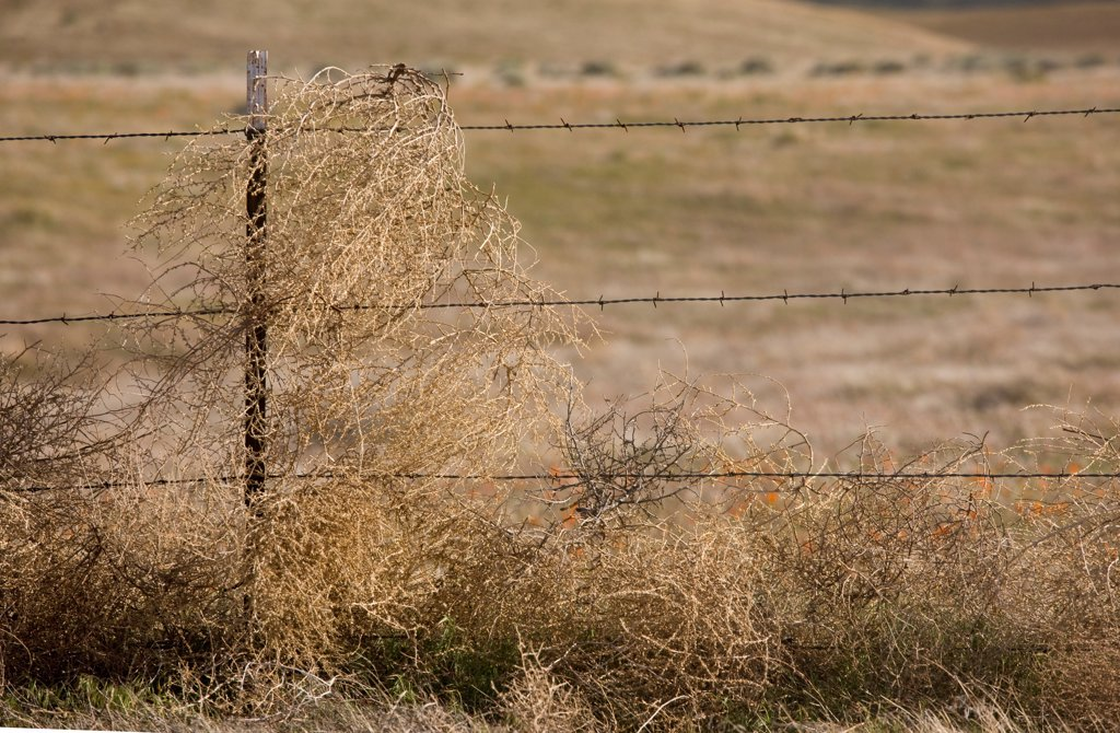 Tumbleweed (Salsola tragus) introduced species, dried stems caught on fence, Southern California, U.S.A. : Stock Photo
