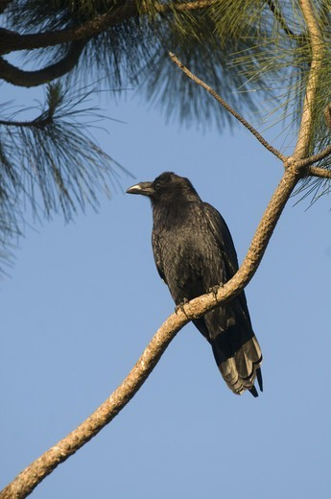 American Crow (Corvus brachyrhynchos) adult, perched on conifer branch, San Diego, California, U.S.A., april : Stock Photo