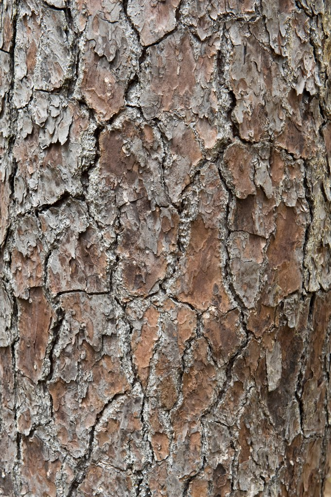 Stock Photo: 4421-31038 Caribbean Pine (Pinus caribaea) close-up of bark, St. Lucia, Windward Islands, Lesser Antilles